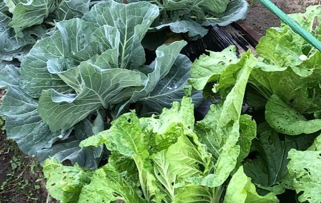 葉物野菜の保存