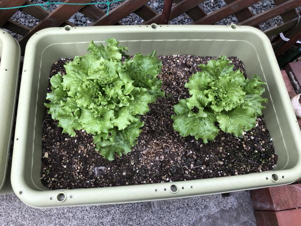 プランターでできる家庭菜園
